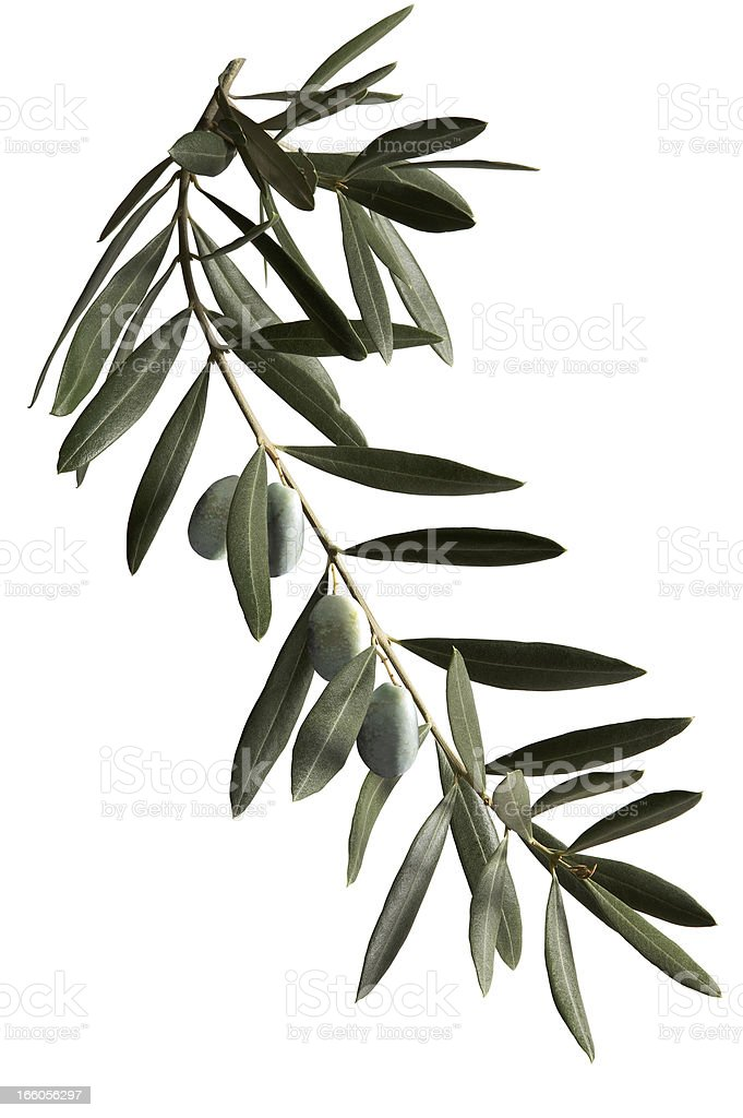 A dark green olive branch on a white background  stock photo