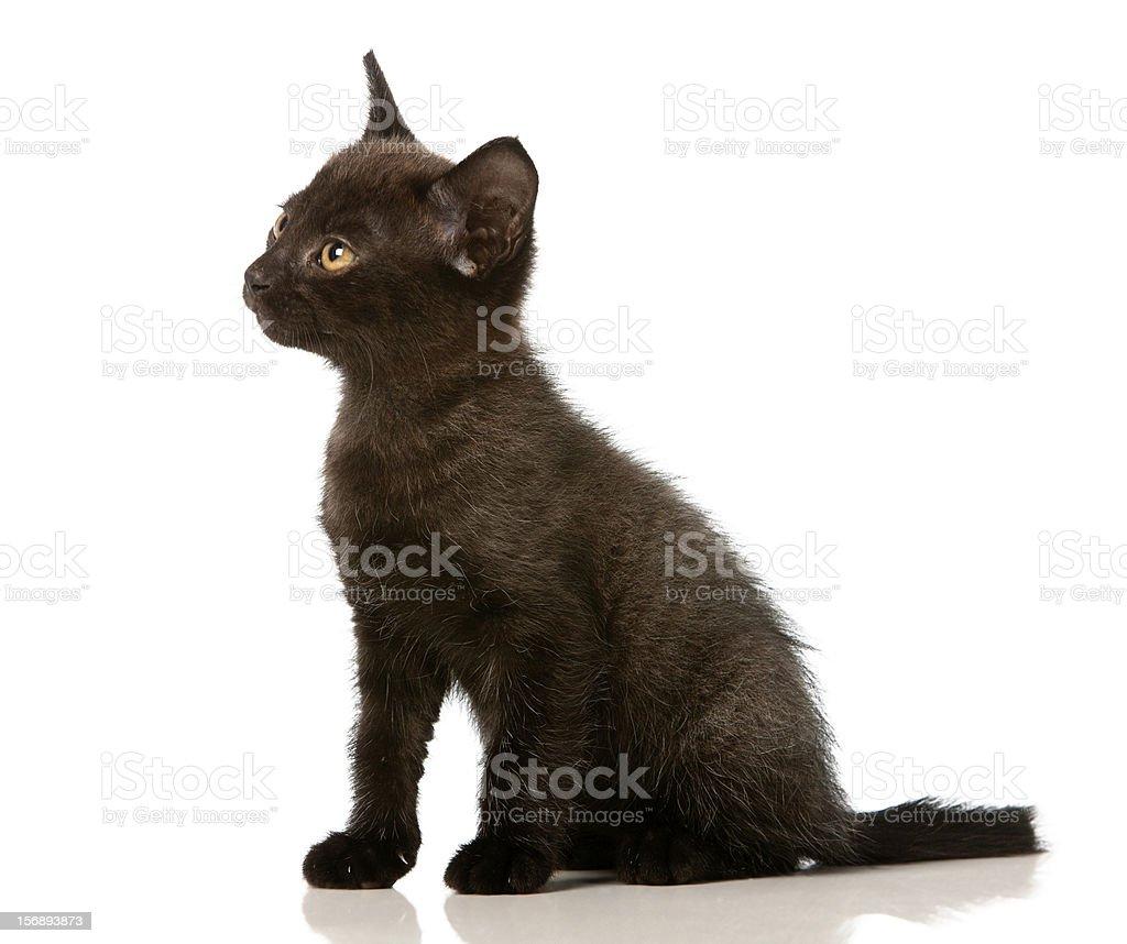Dark grey golden-eyed kitten in profile looks serious royalty-free stock photo