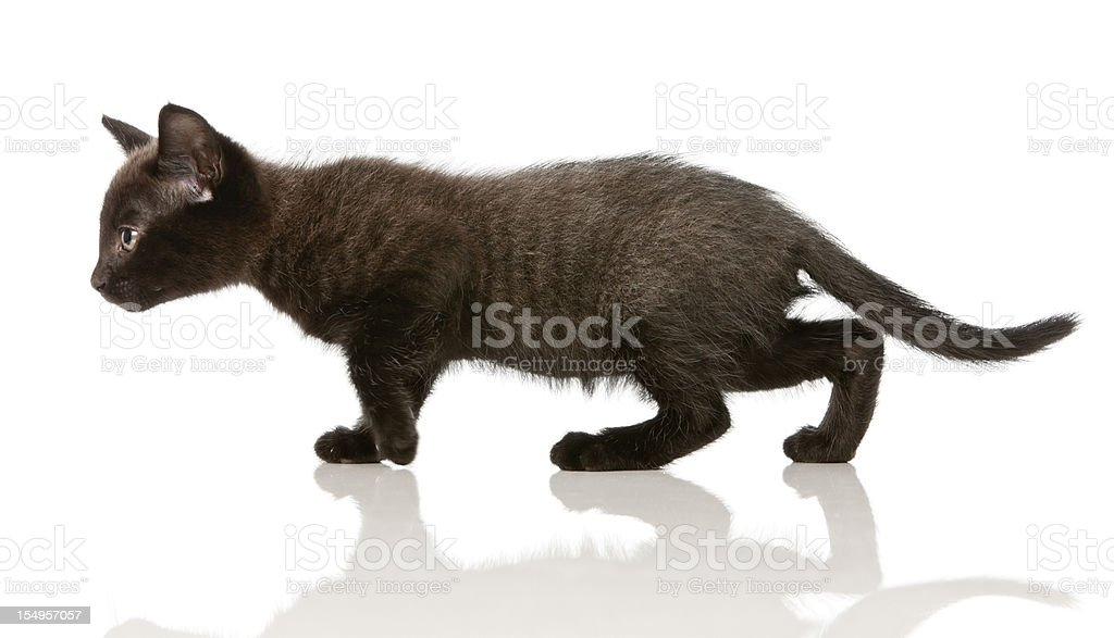 Dark grey kitten in profile on the move, stalking royalty-free stock photo