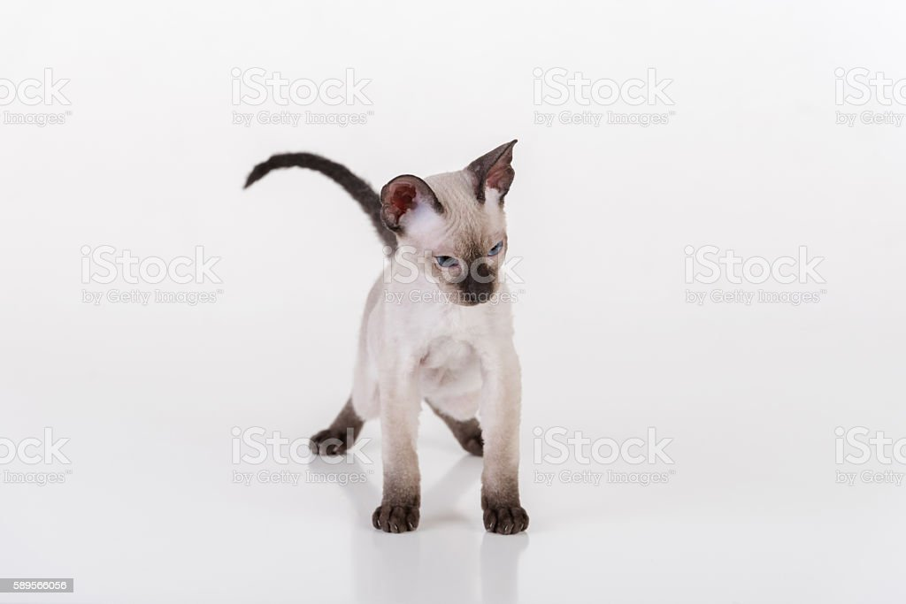 Dark Hairless Very Young Peterbald Sphynx Cat on white table stock photo
