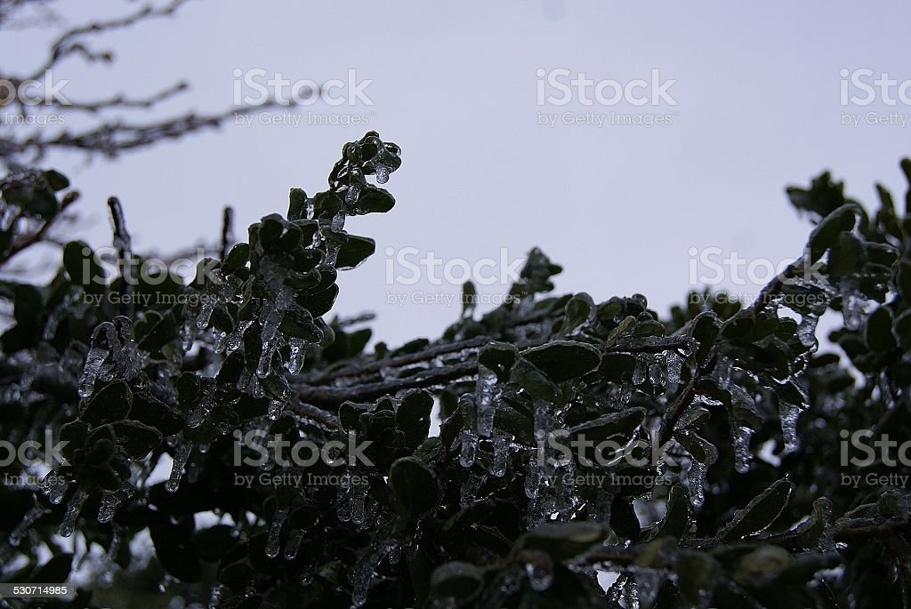 Dark Iced Leaves royalty-free stock photo