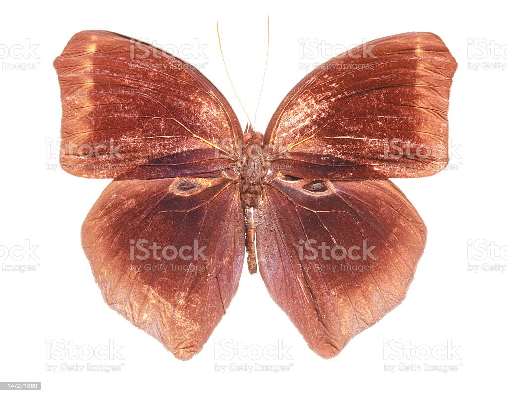 Dark Jungle Glory Butterfly royalty-free stock photo