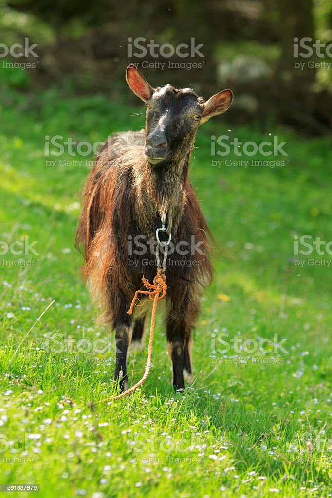 Dark Long-Haired Goat stock photo