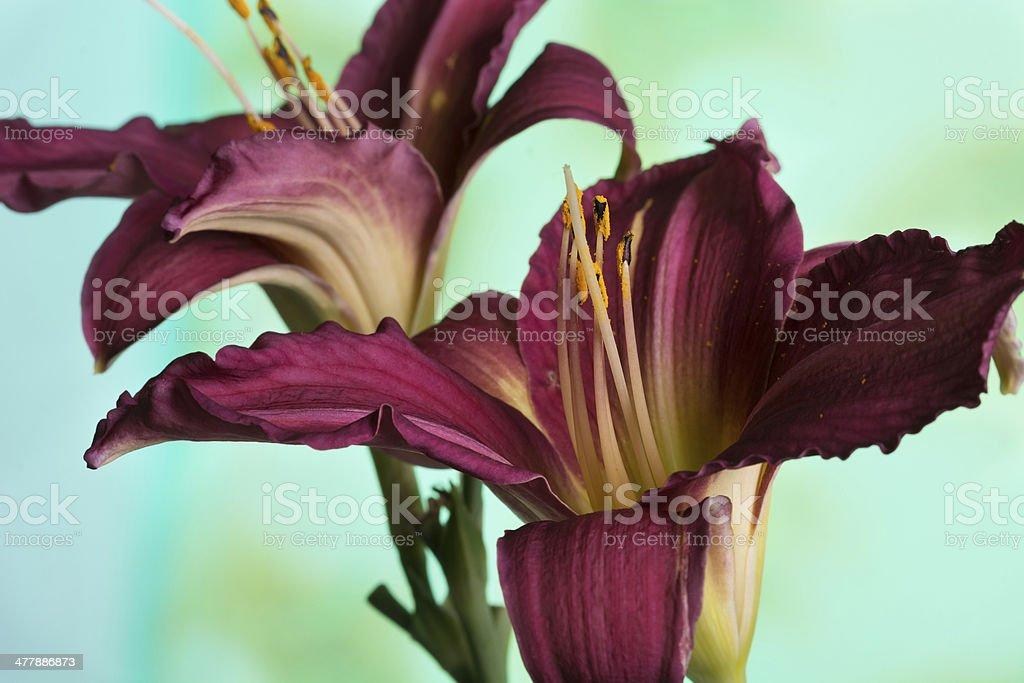 Dark maroon daylilies on green. stock photo