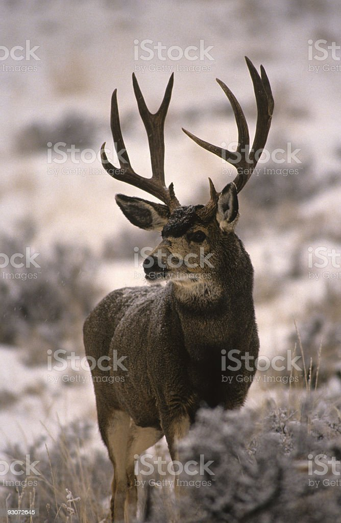 Dark Mule Deer Buck stock photo