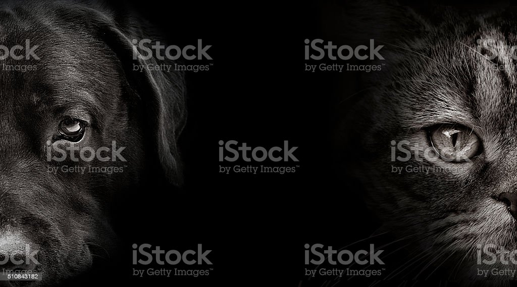 dark muzzle labrador dog and cat Scottish stock photo