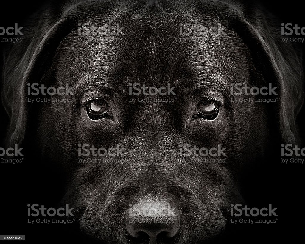 dark muzzle labrador dog closeup. front view stock photo