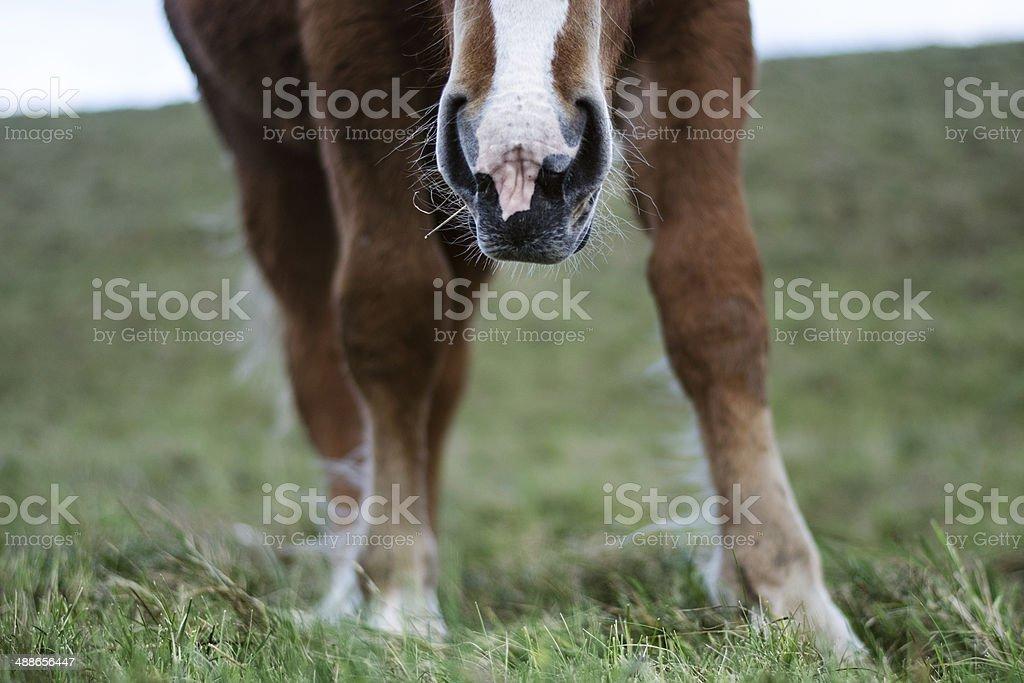 Dark Palomino's nose stock photo