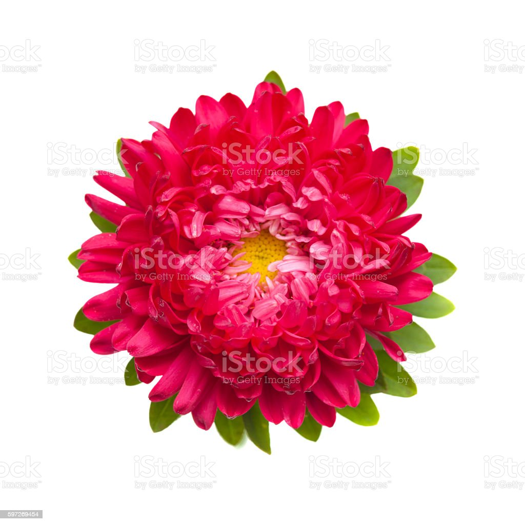 dark pink annual aster stock photo