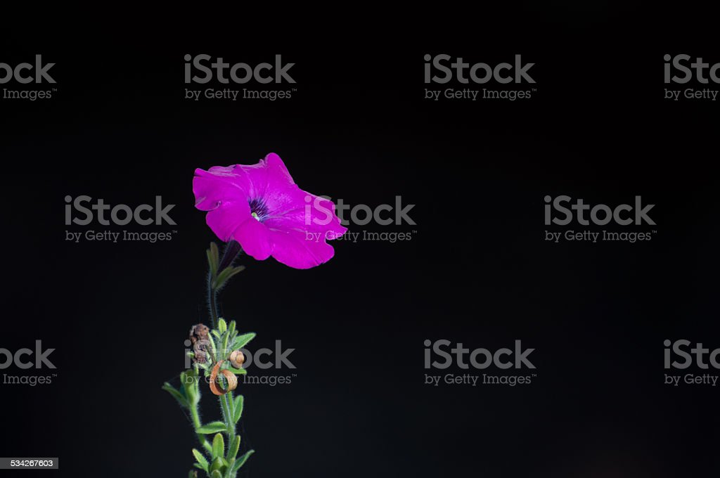 dark pink flower isolated on black background royalty-free stock photo