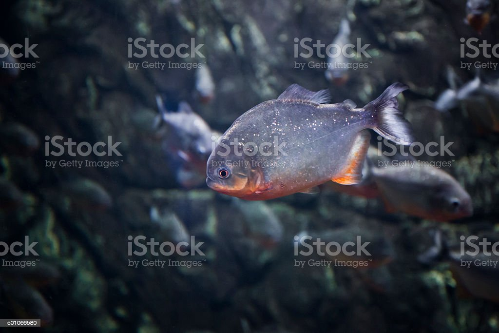 dark piranha fish stock photo