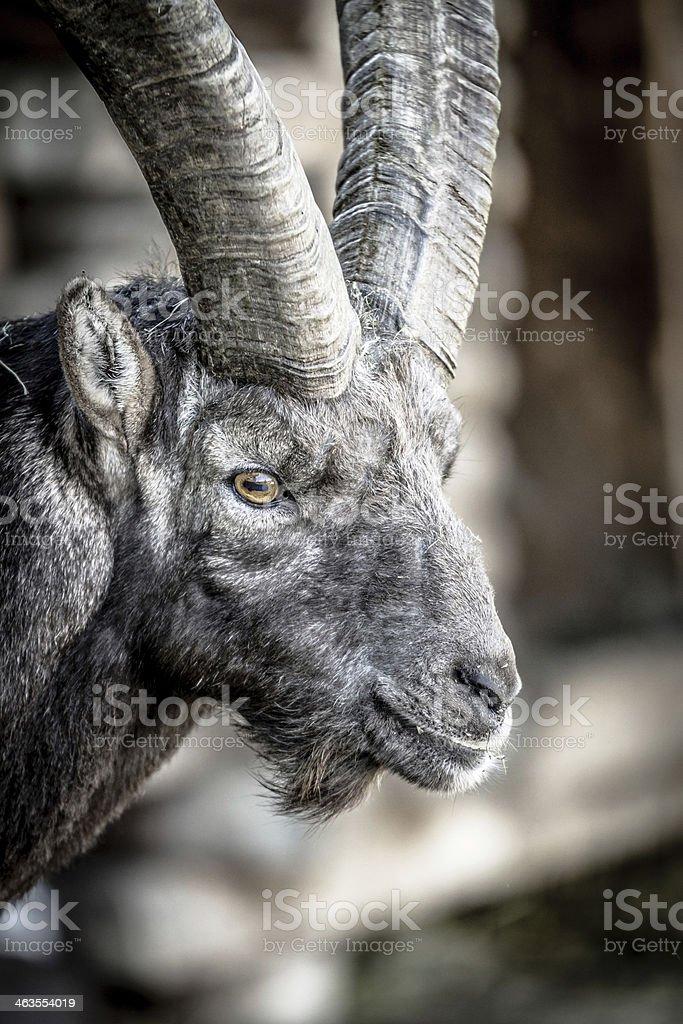 Dark Portrait of an Alpine Ibex stock photo