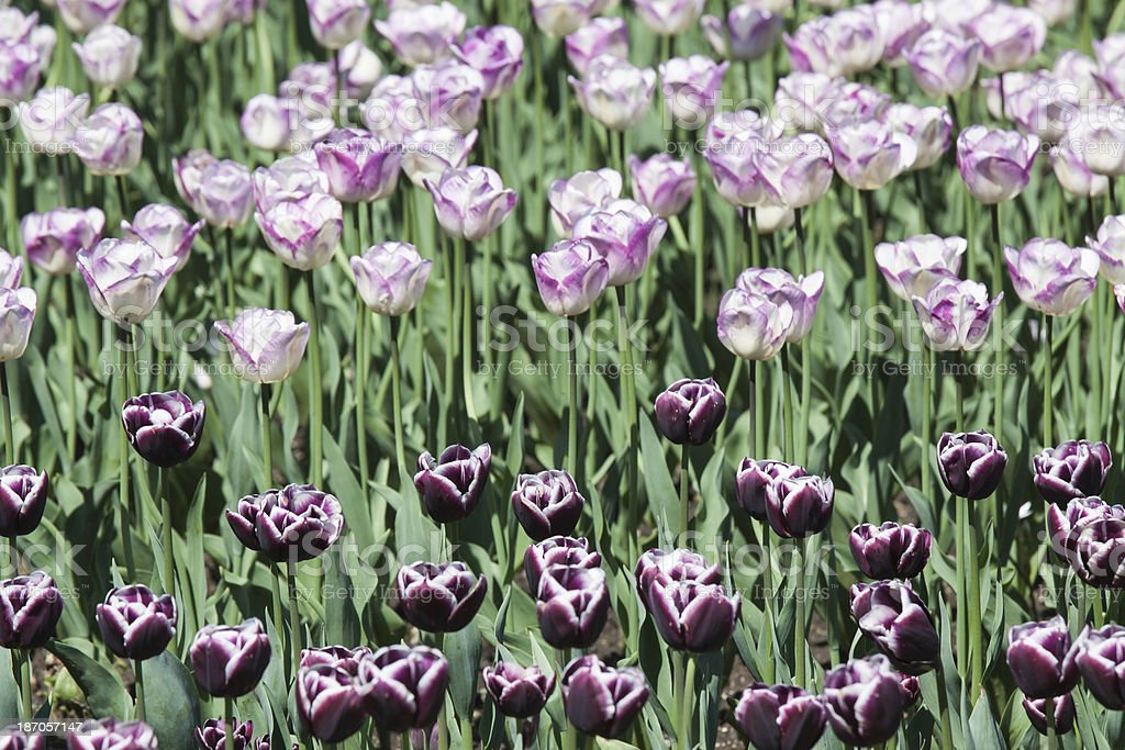 Dark purple and white pink tulips flowers royalty-free stock photo