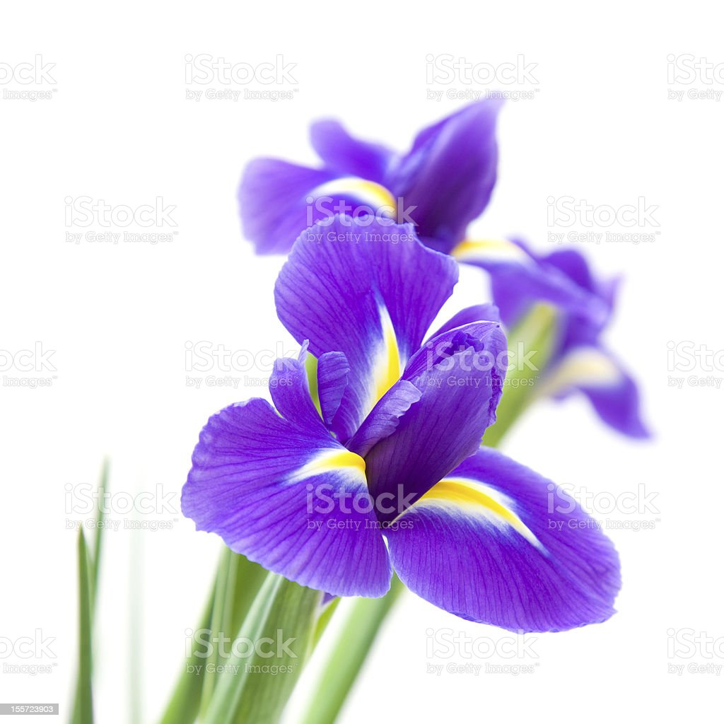 dark purple iris stock photo