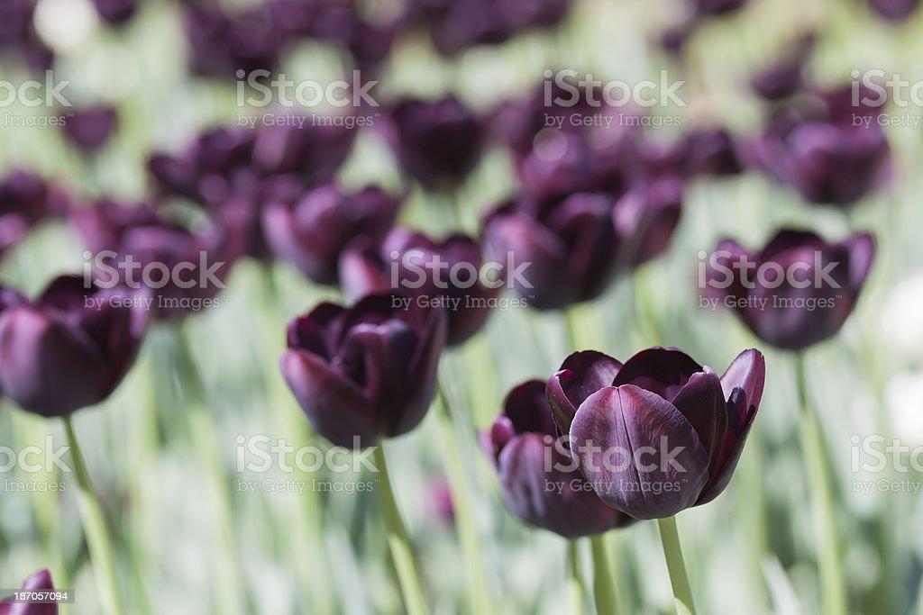 Dark purple tulips flowers royalty-free stock photo