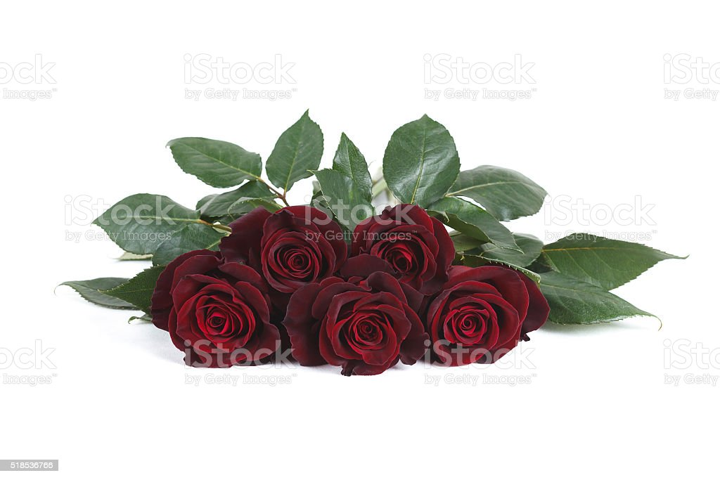 Dark red 'Black Baccara' roses isolated on white background stock photo