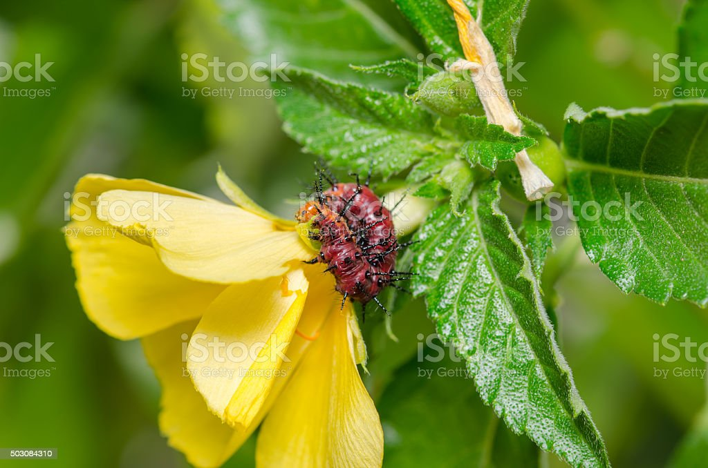 Dark red caterpillar on green leaf and yellow flower stock photo
