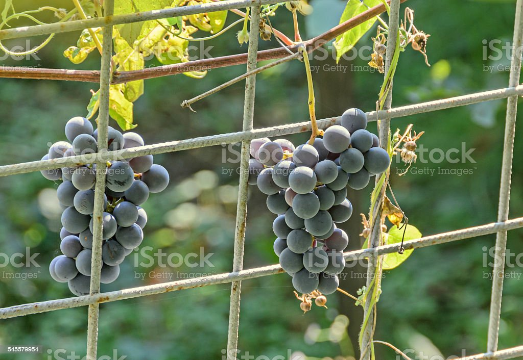 Dark red, purple grapes fruit hang, Vitis vinifera (grape vine) stock photo