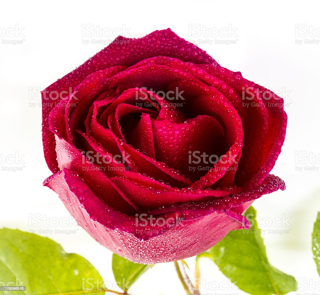 Dark red rose (Clipping path) royalty-free stock photo