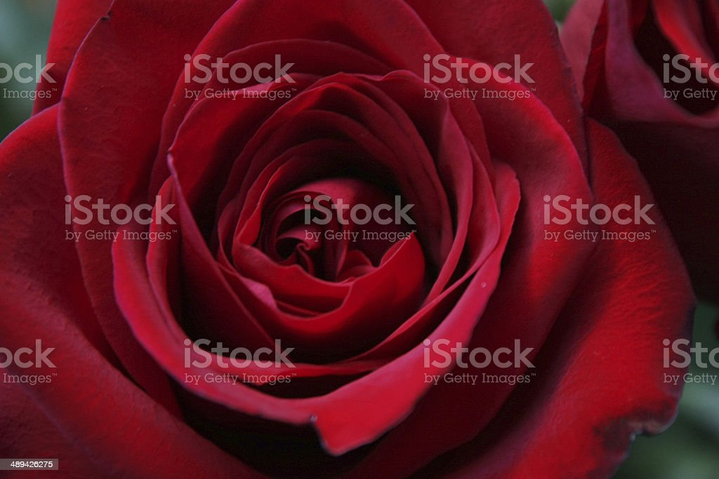 Dark red rose royalty-free stock photo
