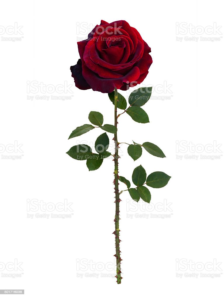 Dark red  rose stock photo