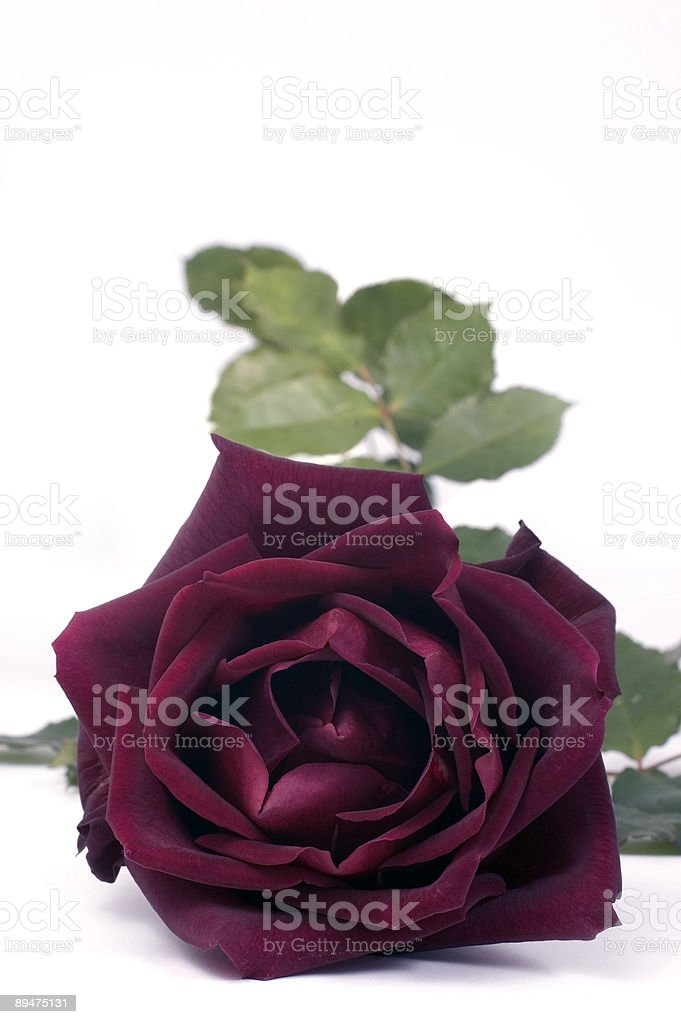 Rosa rosso scuro foto stock royalty-free