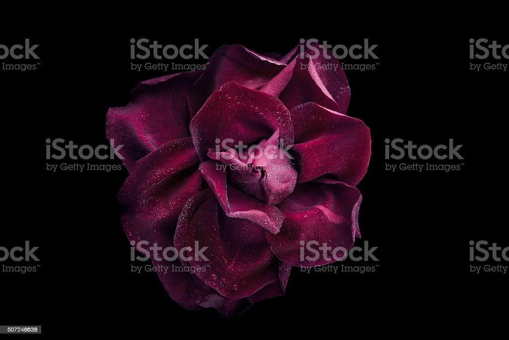Dark rose with water drop on black background top view stock photo