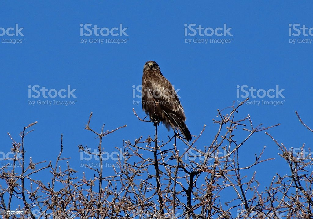 Dark Rough Legged Hawk stock photo