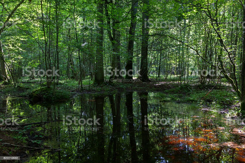 Dark shady deciduous stand in summer stock photo
