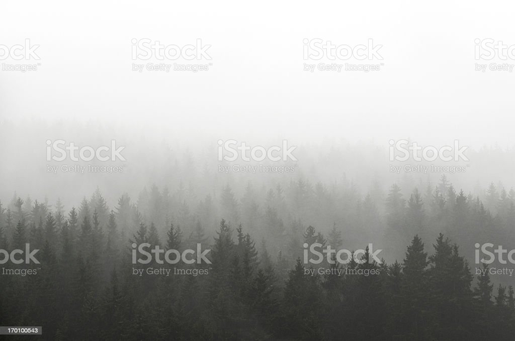 Dark Spruce Wood Silhouette Surrounded by Fog on white. stock photo