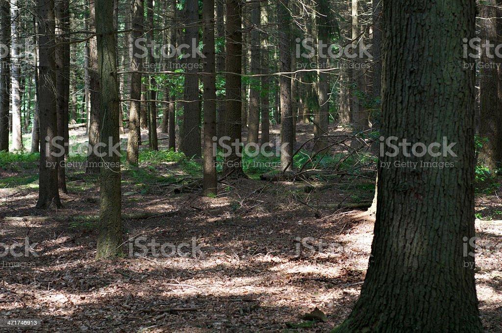 Dark sunlit wood royalty-free stock photo