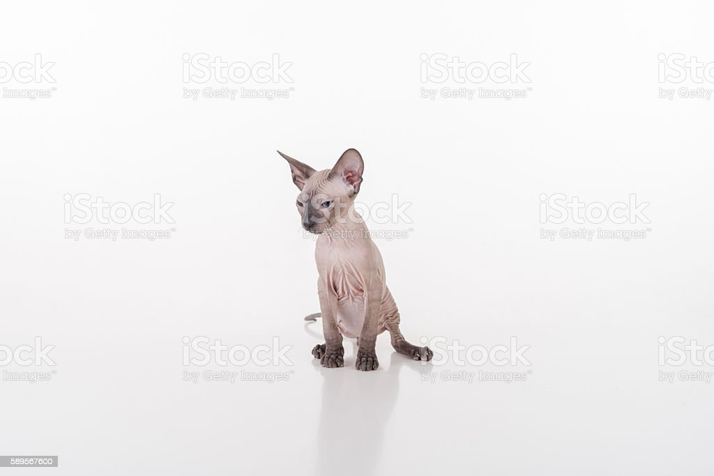Dark Very Young Peterbald Sphynx Cat stock photo