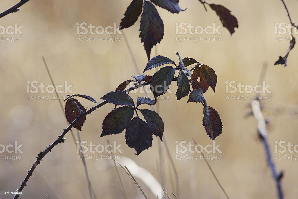 Dark winter bramble leaves against pale grass background stock photo