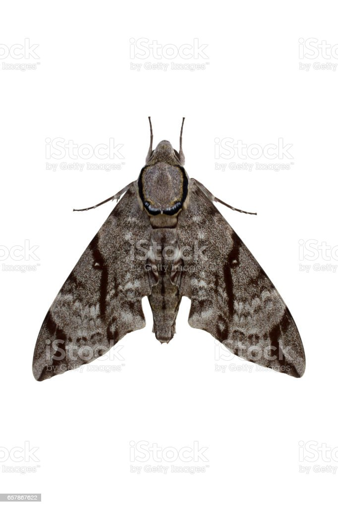 Dark-bordered Hawkmoth isolated on white background stock photo