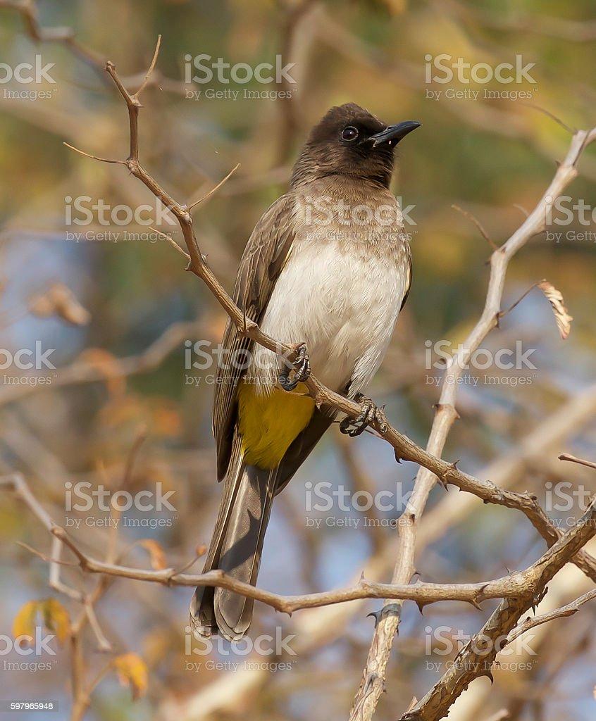 Dark-Capped Bulbul stock photo