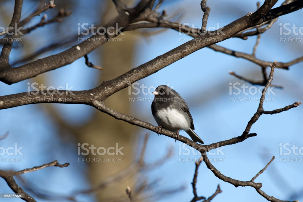 Dark-eyed Junco in the Branches stock photo