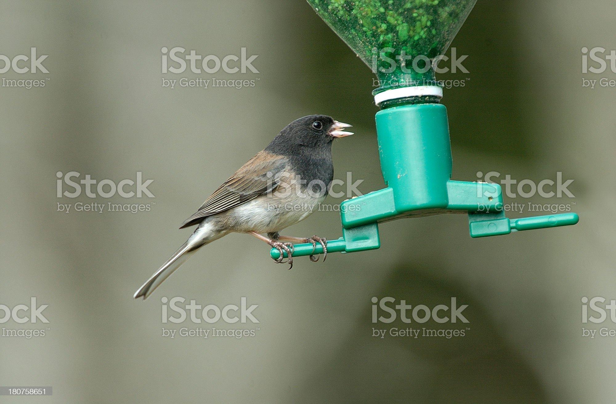 Dark-eyed Junco on bird feeder royalty-free stock photo