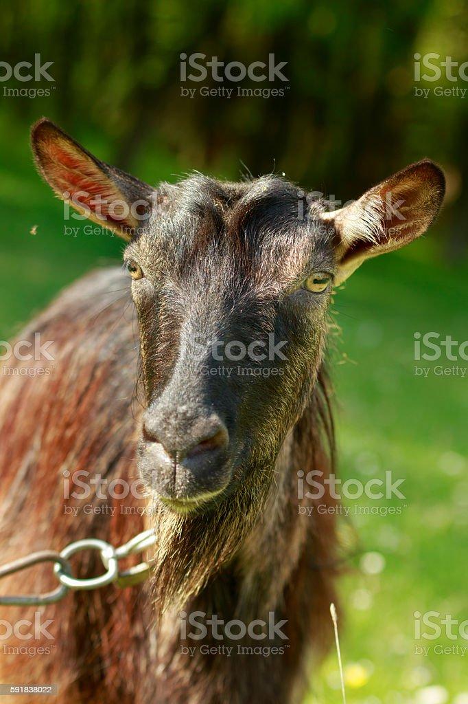 Dark-haired Goat Close-Up stock photo