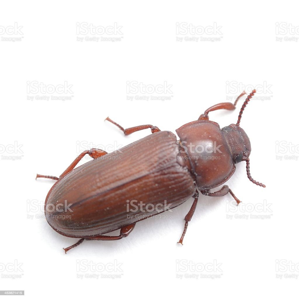 Darkling beetle (red flour beetle) from above stock photo