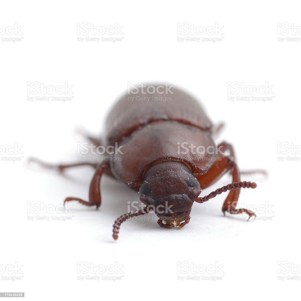 Darkling beetle (red flour beetle), head-on stock photo