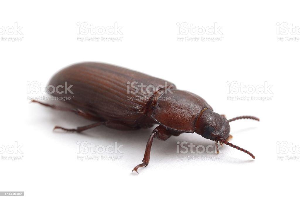 Darkling beetle (red flour beetle) stock photo