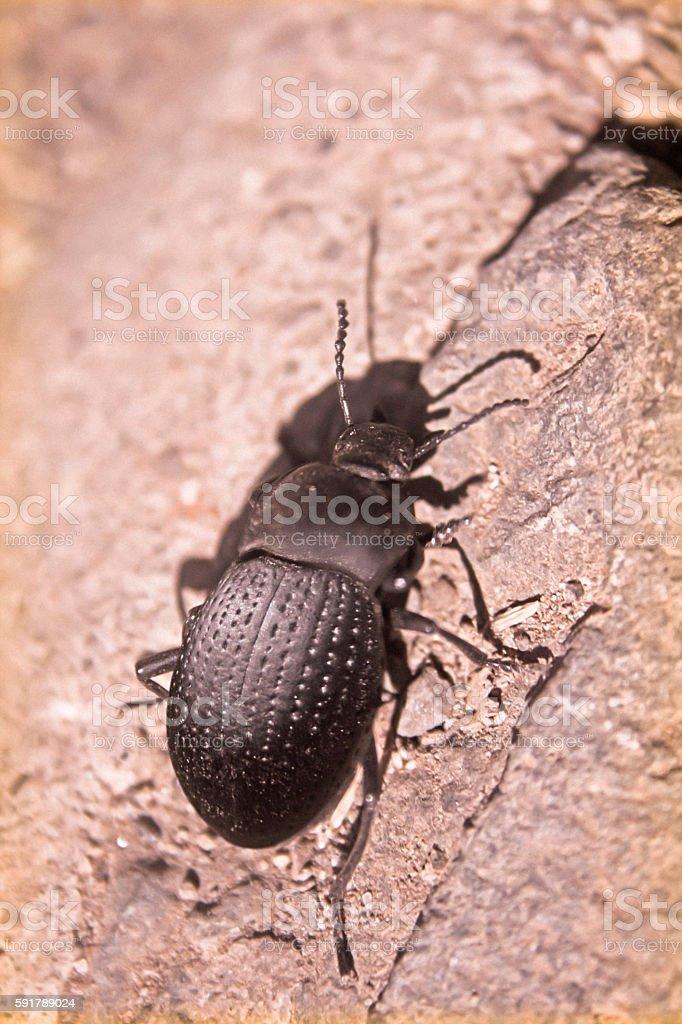 Darkling beetle stock photo