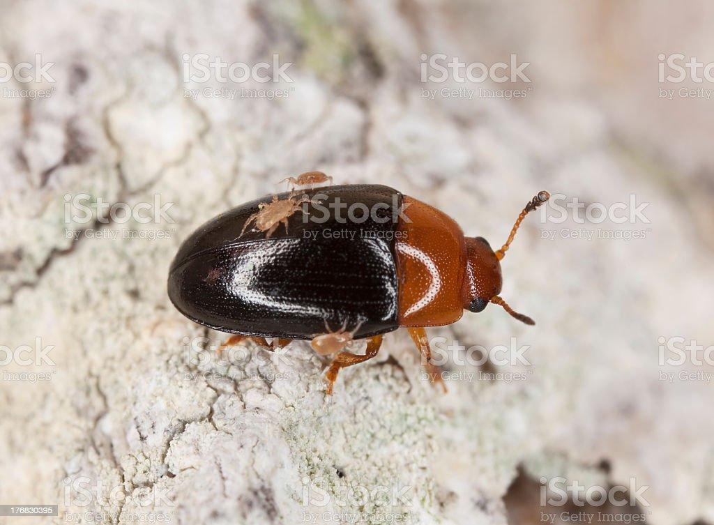Darkling beetle with parasites, extreme close-up stock photo
