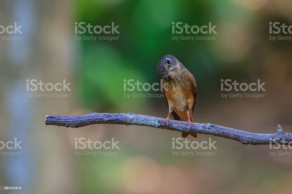 Dark-sided Flycatcher (Muscicapa sibirica), standing on a branch stock photo