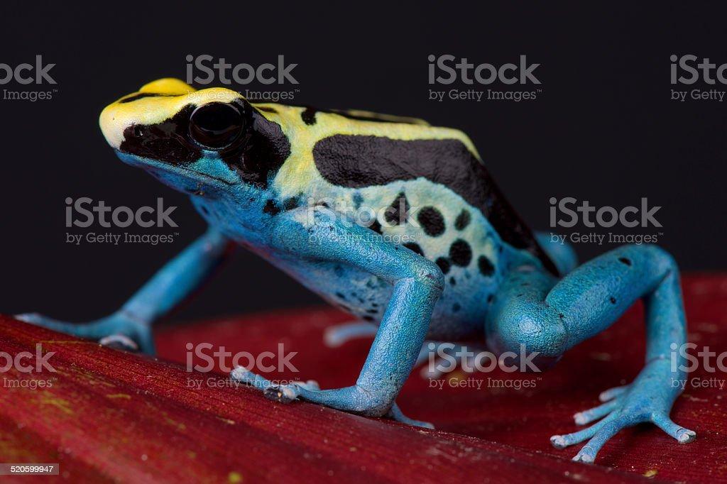 Dart frog / Dendrobates tinctorius stock photo