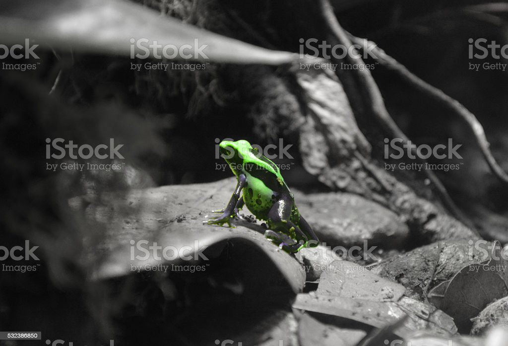 Dart Frog stock photo