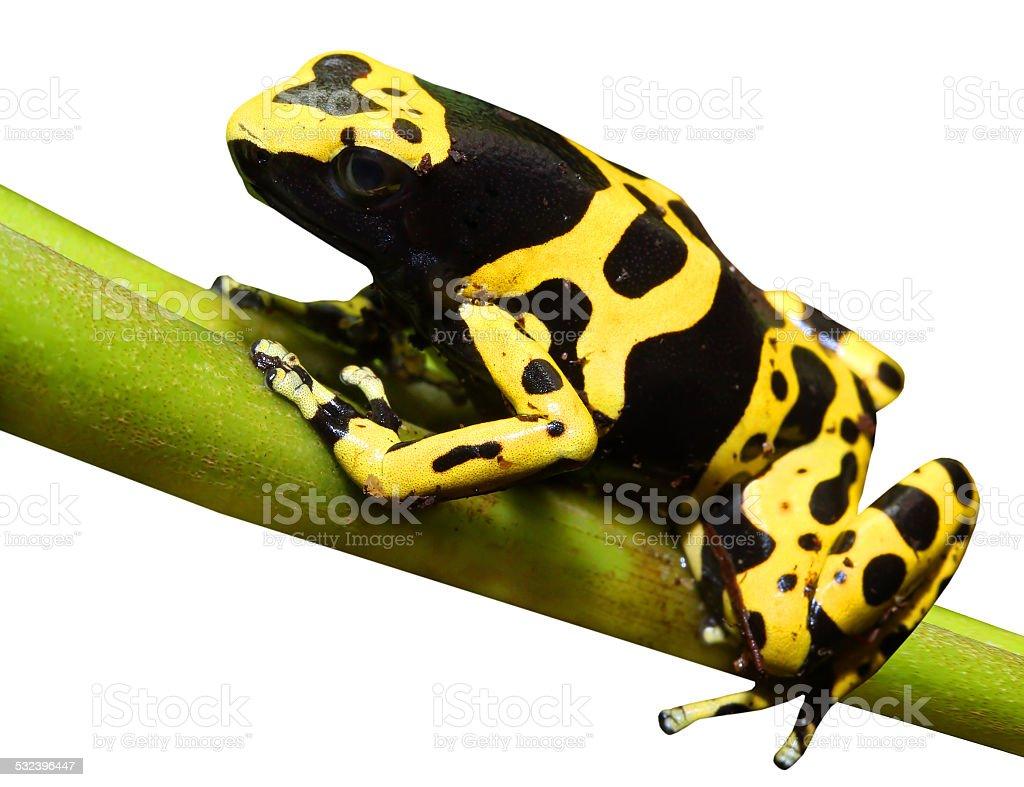Dart frog. stock photo