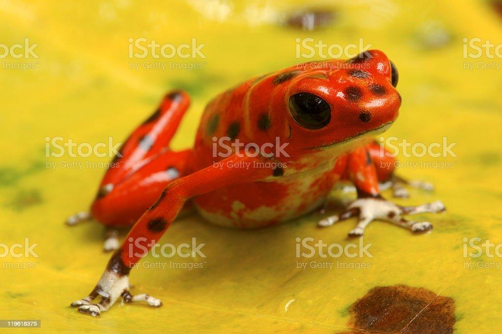Dart Poison frog royalty-free stock photo