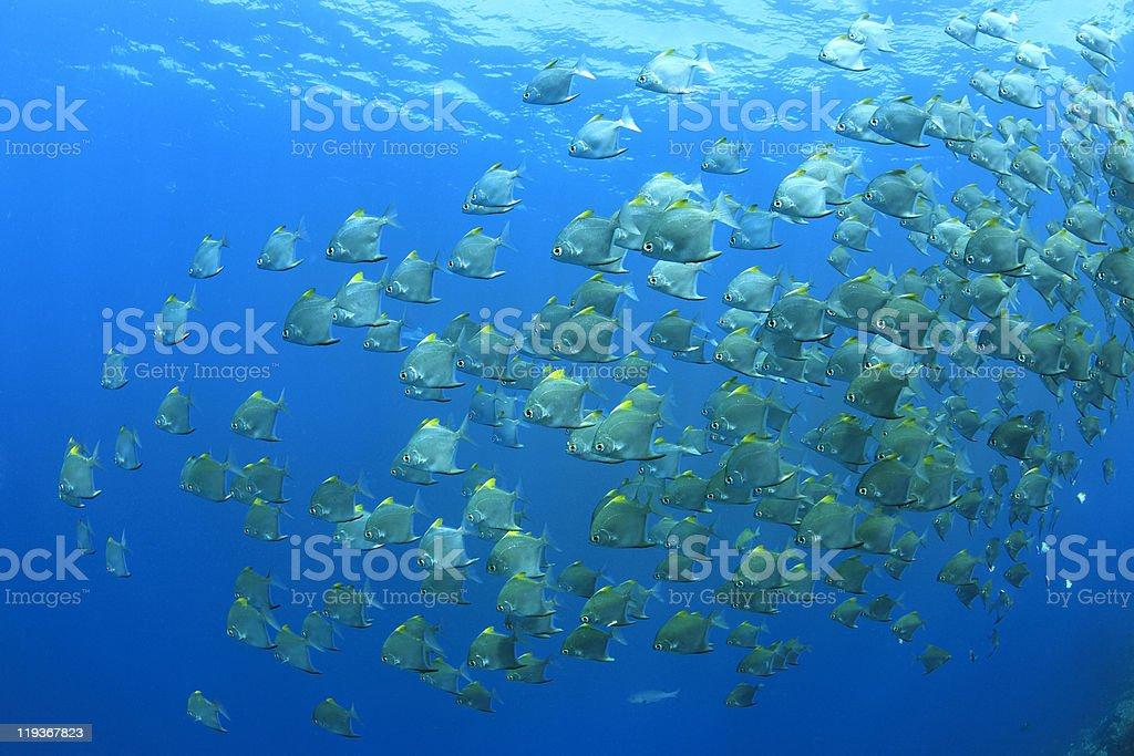 Dartfish royalty-free stock photo