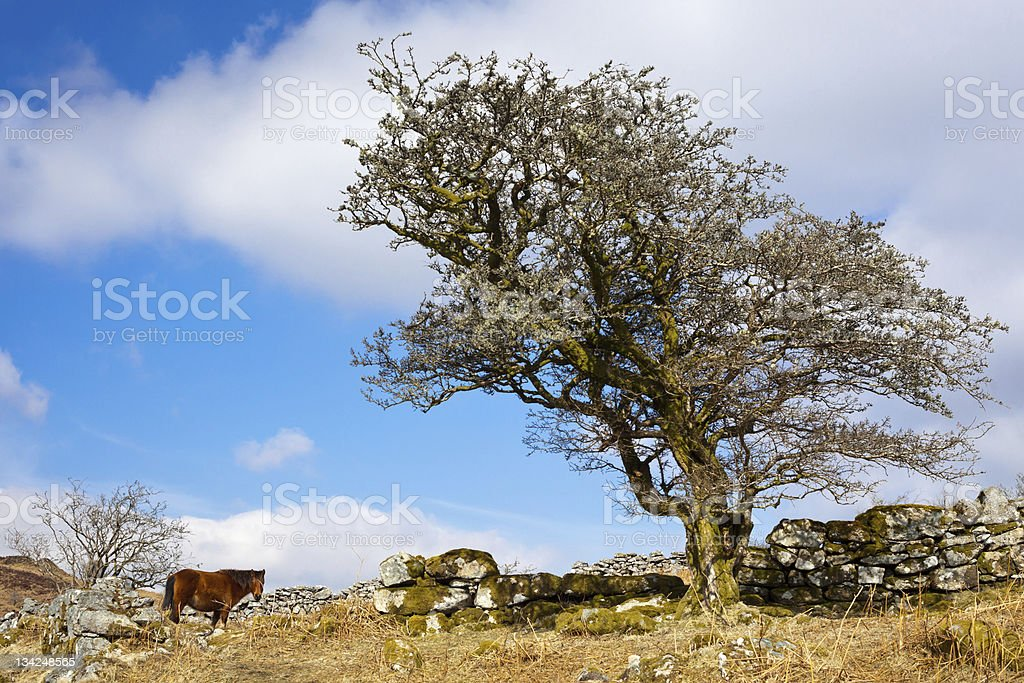 Poney Dartmoor photo libre de droits
